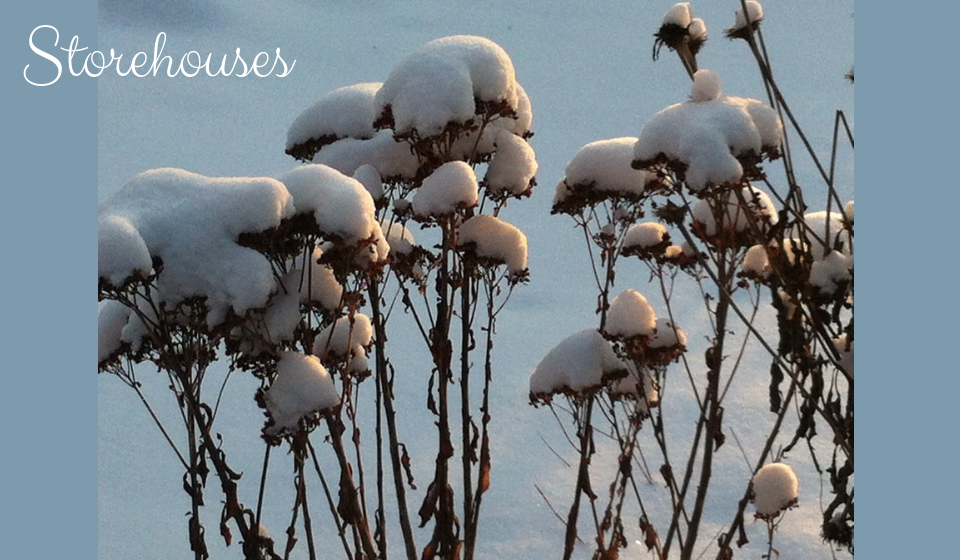 Winter scene: coneflowers covered in snow - storehouses of seeds